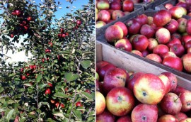 äpple-i-kivik